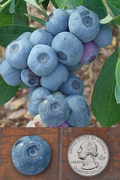 Titan Blueberry