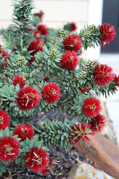 Little John Dwarf Red Bottlebrush (Callistemon citinus) - 1 Gallon Pot