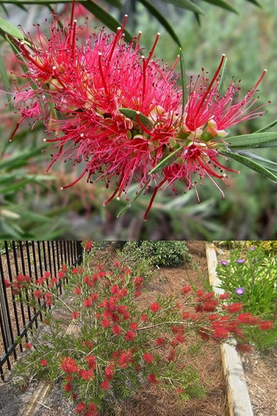 Semmes Cold Hardy Red Bottlebrush - Callistemon - 3 Gallon Pot