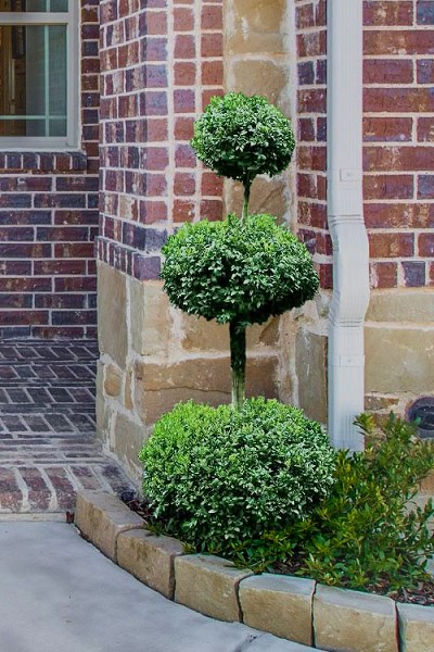 Common Boxwood 3-Ball Poodle Tier Topiary (Buxus sempervirens) - 6 Gallon Pot