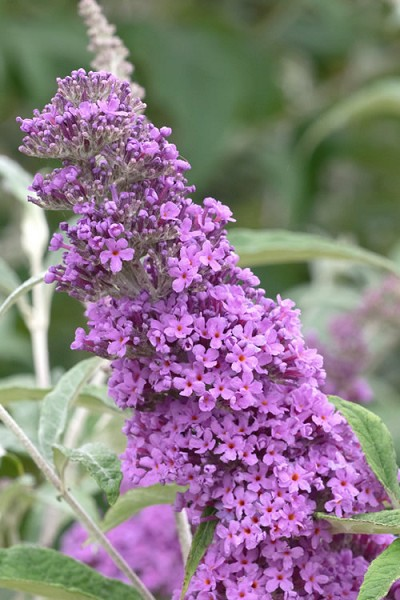 Buddleia Buzz Lavender Dwarf Butterfly Bush
