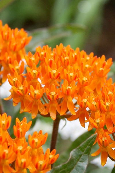 Orange Butterfly Milkweed - Asclepias tuberosa - 3-Pack of Quart Pots