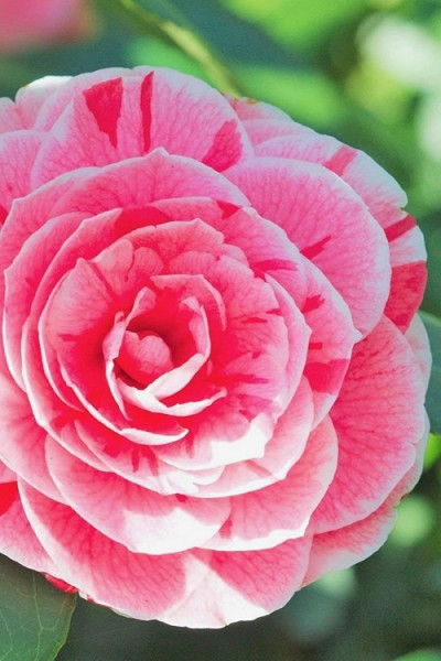 Dad's Pink & Red Variegated Camellia Japonica - 1 Gallon Pot