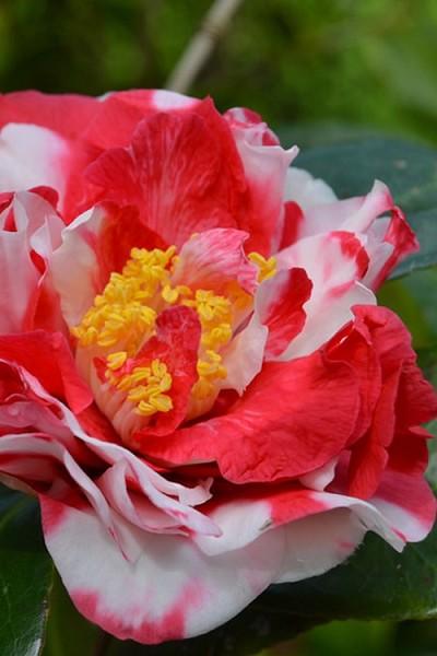 Buy Sacred Dance Camellia Japonica Daikagura Free