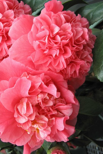 Maidens Of Great Promise Camellia - Japonica - 3 Gallon Pot