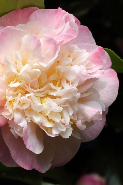 Mrs. Lyman Clarke Camellia - 1 Gallon Pot