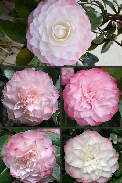 Buy Nuccio S Pearl Camellia Japonica Free Shipping