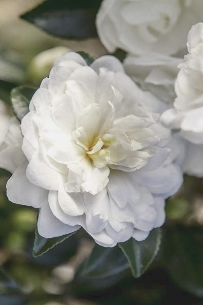 October Magic Bride Camellia - 2 Gallon Pot