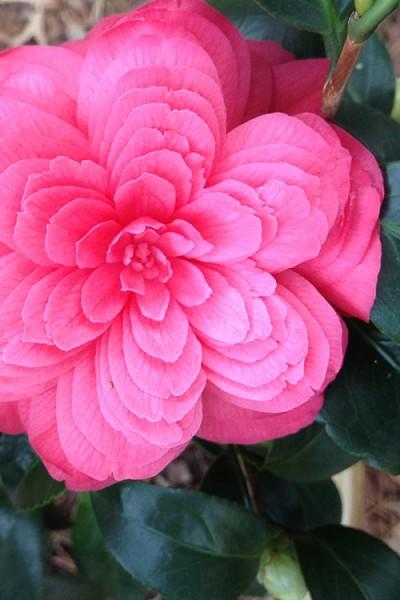 Buy Rosea Plena Camellia Bushes Free Shipping For Sale