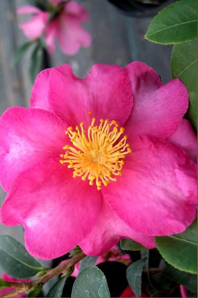 Buy Stephanie Golden Dwarf Camellia Free Shipping 3