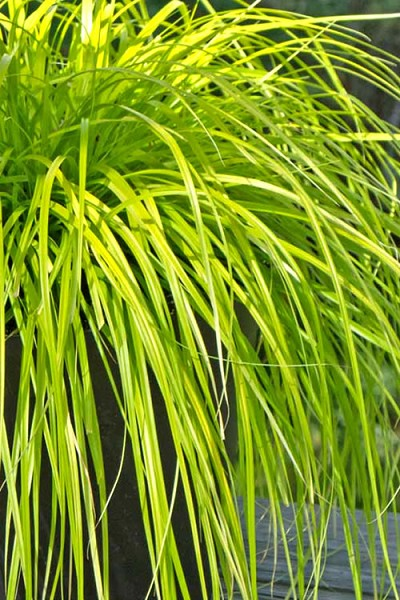 Evercolor Everillo Carex - 10 Count Flat of Quart Pots