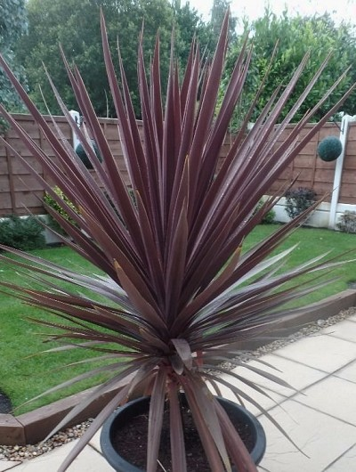 Buy Red Star Cordyline Plant Free Shipping Cabbage