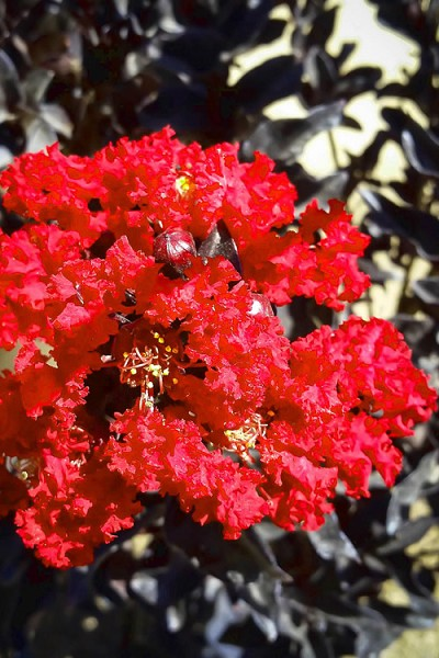 Black Diamond Red Hot Crape Myrtle - 3 Gallon Pot