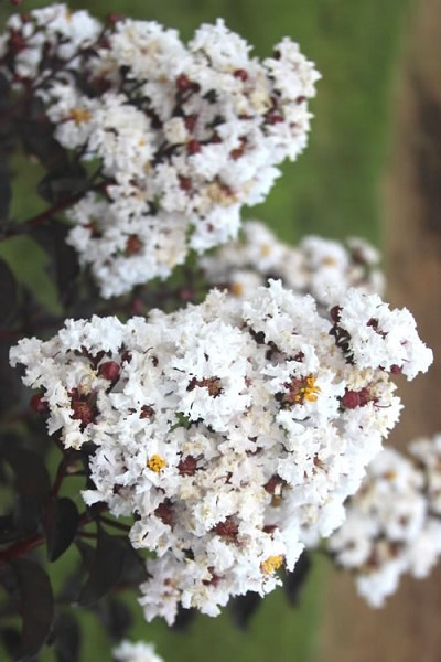 Ebony & Ivory Crape Myrtle - 3 Gallon Pot