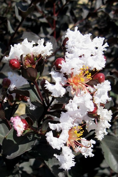 Delta Moonlight Crape Myrtle - 2 Gallon Pot