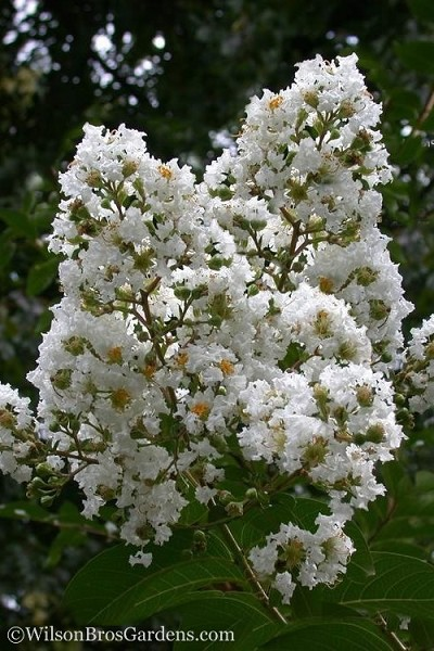 Sarah's Favorite Crape Myrtle - 5 Gallon Pot