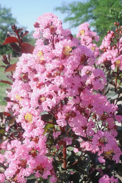 Rhapsody in Pink Crape Myrtle - 5 Gallon Pot