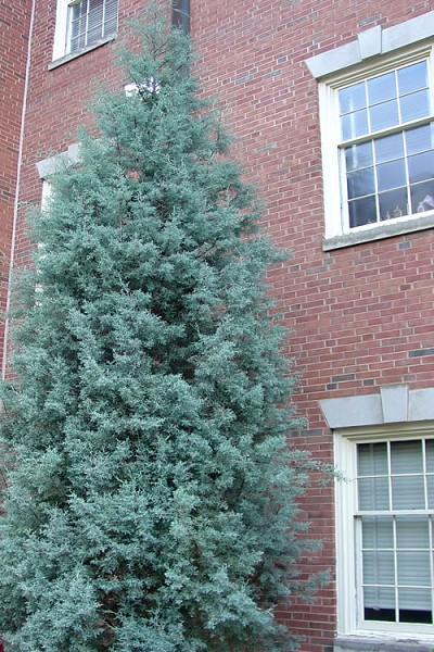 Blue Ice Arizona Cypress - 3 Gallon Pot