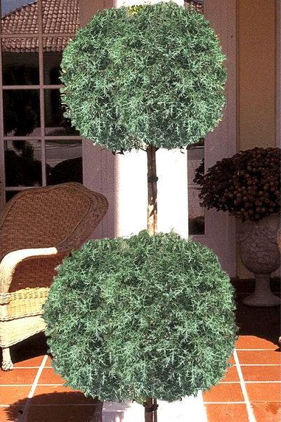Two Ball Poodle Tier Carolina Sapphire Cypress Topiary - 3 Gallon Pot