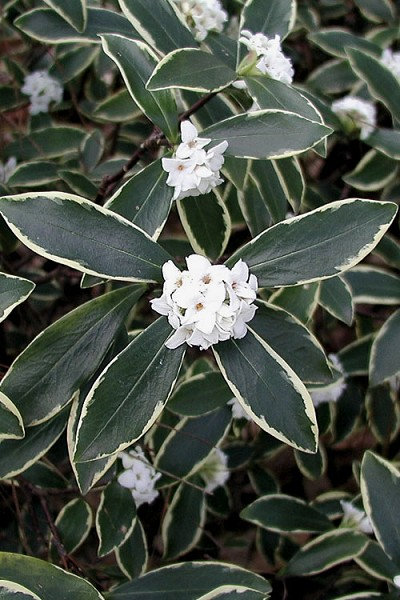 Variegated White Winter Daphne - 1 Gallon Pot