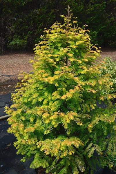 Amber Glow Dawn Redwood Tree - Metasequoia glyptostroboides - 3 Gallon Pot