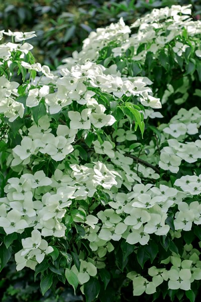 Blue Ray White Chinese Dogwood - Cornus kousa - 5 Gallon Pot
