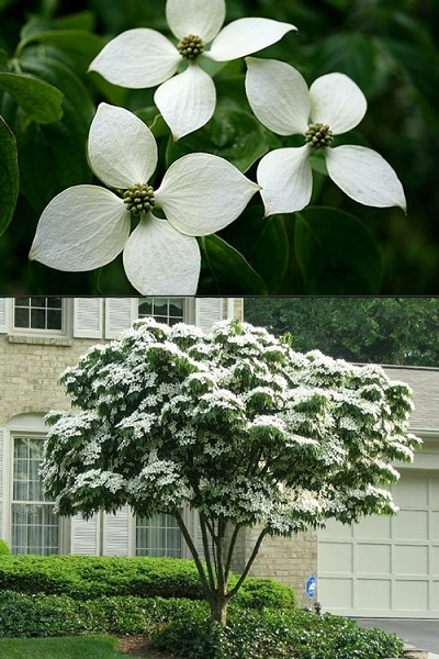 White Chinese Dogwood - Cornus kousa