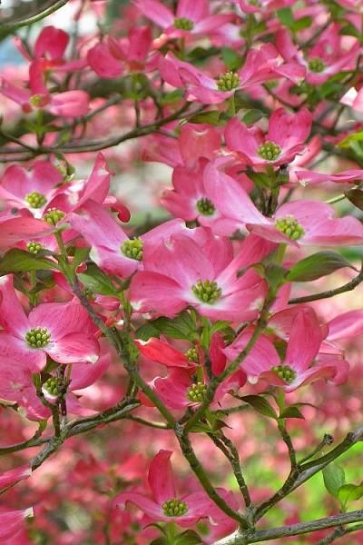 Buy Red Flowering Dogwood Tree Free Shipping Cornus