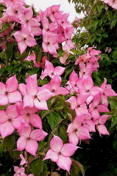 Rosy Teacups Pink Chinese Hybrid Dogwood - 5 Gallon Pot