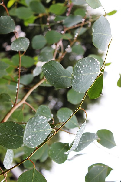 Lucky Country Cold Hardy Eucalyptus Tree (Eucalyptus camphora) - Quart Pot