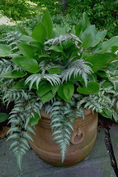 Japanese Painted Fern - 1 Gallon Pot