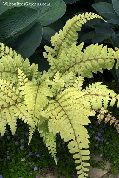 Limelight Lady Fern - 1 Gallon Pot