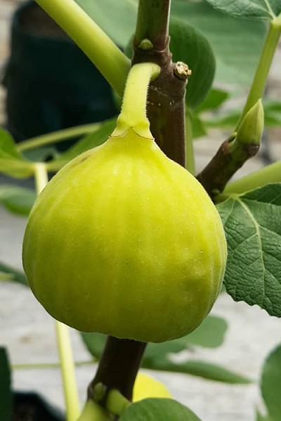 Italian Honey Lemon Fig Tree - 1 Gallon Pot