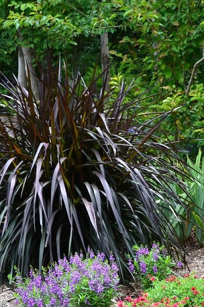 Princess Caroline Purple Fountain Grass (Pennisetum) - 1 Gallon Pot