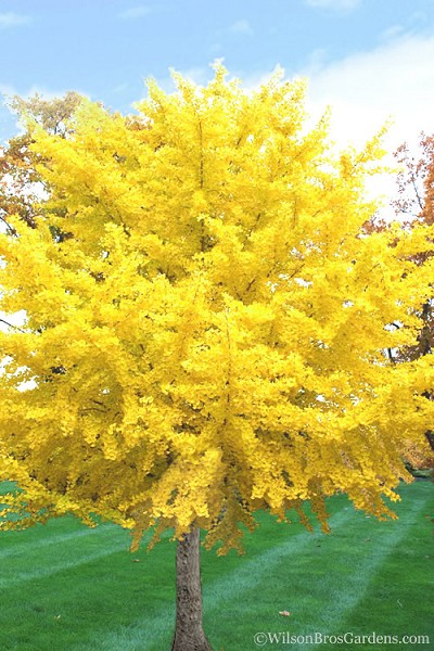 Buy Male Ginkgo Biloba Maidenhair Trees Free Shipping For Sale