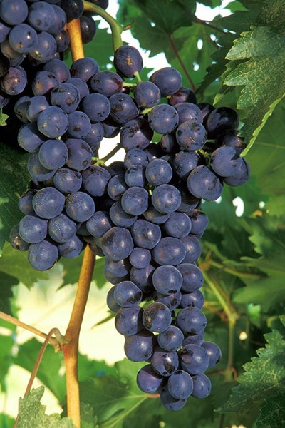 Concord Grape Vine - 1 Gallon Pot