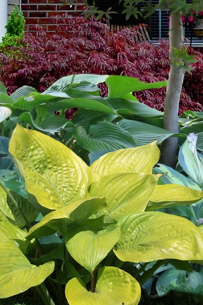 Sum and Substance Hosta Lily - 1 Gallon Pot
