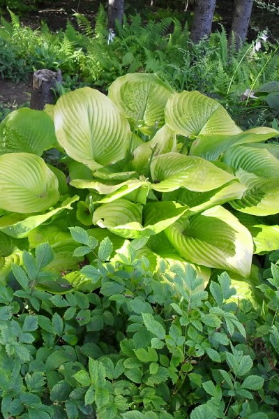 Sum and Substance Hosta Lily