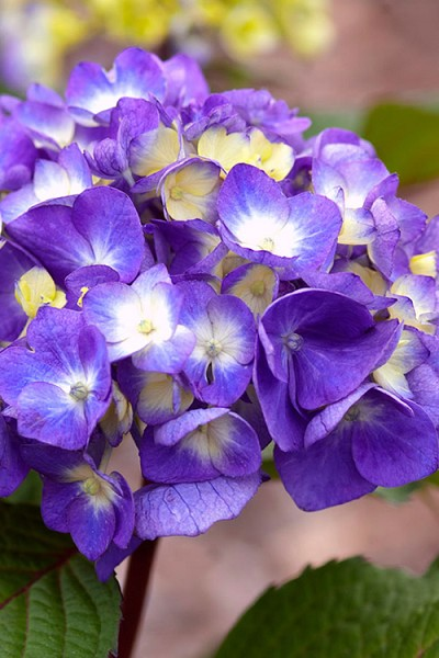 Bloomstruck Endless Summer Hydrangea - 1 Gallon Pot