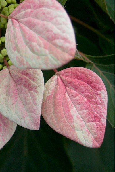 Rose Sensation False Hydrangea Vine - Schizophragma hydrangeoides'Minsens' - 3 Gallon Pot
