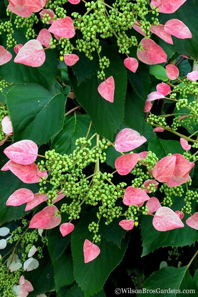 Rose Sensation Pink Climbing Hydrangea Vine - 1 Gallon Pot