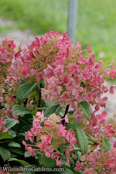 Little Quick Fire Hydrangea - 3 Gallon Pot