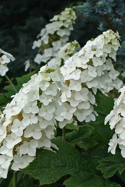 Snow Queen Oakleaf Hydrangea - 3 Gallon Pot