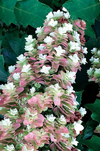 Snowcicle Oakleaf Hydrangea - 3 Gallon Pot