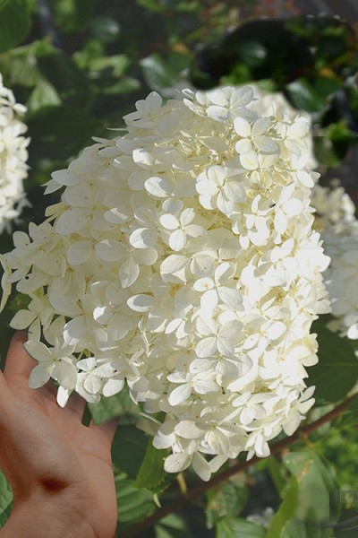 Phantom Hydrangea - 3 Gallon Pot
