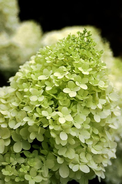 Limelight PeeGee Hydrangea - 3 Gallon Pot