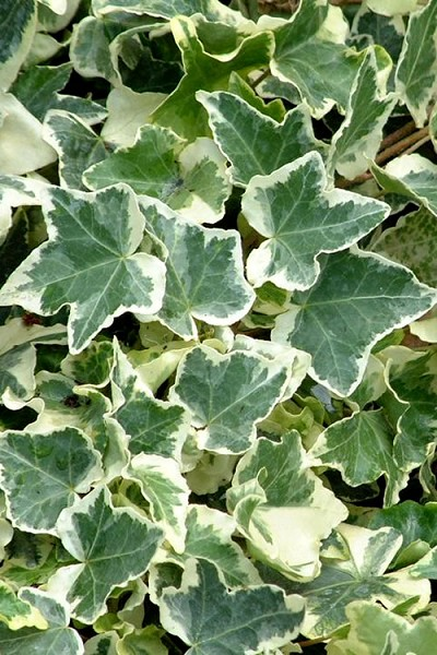 Anne Marie White Variegated Ivy (Hedera helix) - 10 Count Flat of Pint Pots
