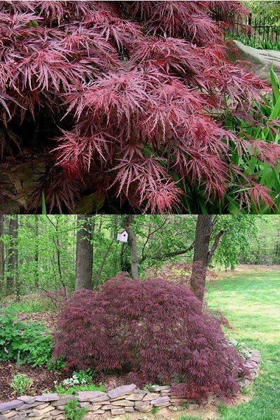 Buy Crimson Queen Dwarf Japanese Maple Tree For Sale