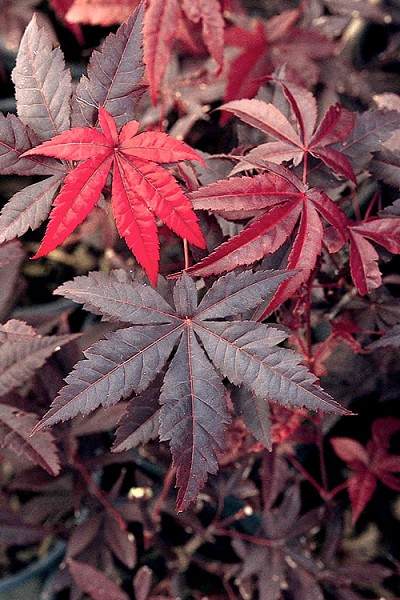 Emperor 1 Japanese Maple - 1 Gallon Pot
