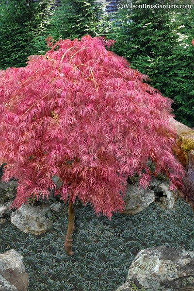 Hana Matoi Pink Leaf Japanese Maple - Acer palmatum - 5 Gallon Pot (4.5' Tall Tree Form)